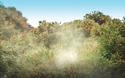 In the Southwest, Cedar Fever Soars In Winter