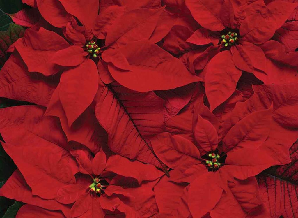 Photo of red poinsettia leaves