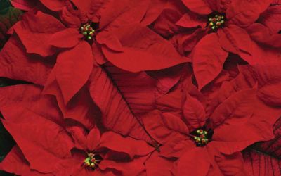 Can Poinsettia Plants Cause a Latex Allergy Reaction?