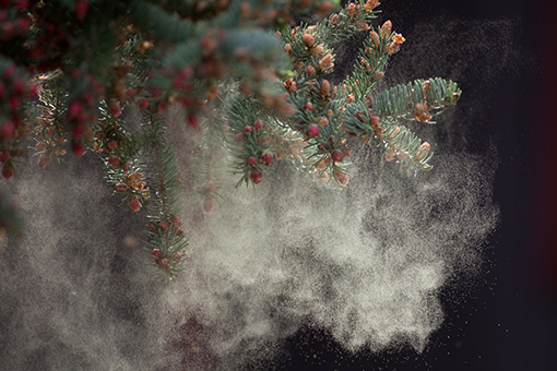 Photo of pollen falling of of a pine tree